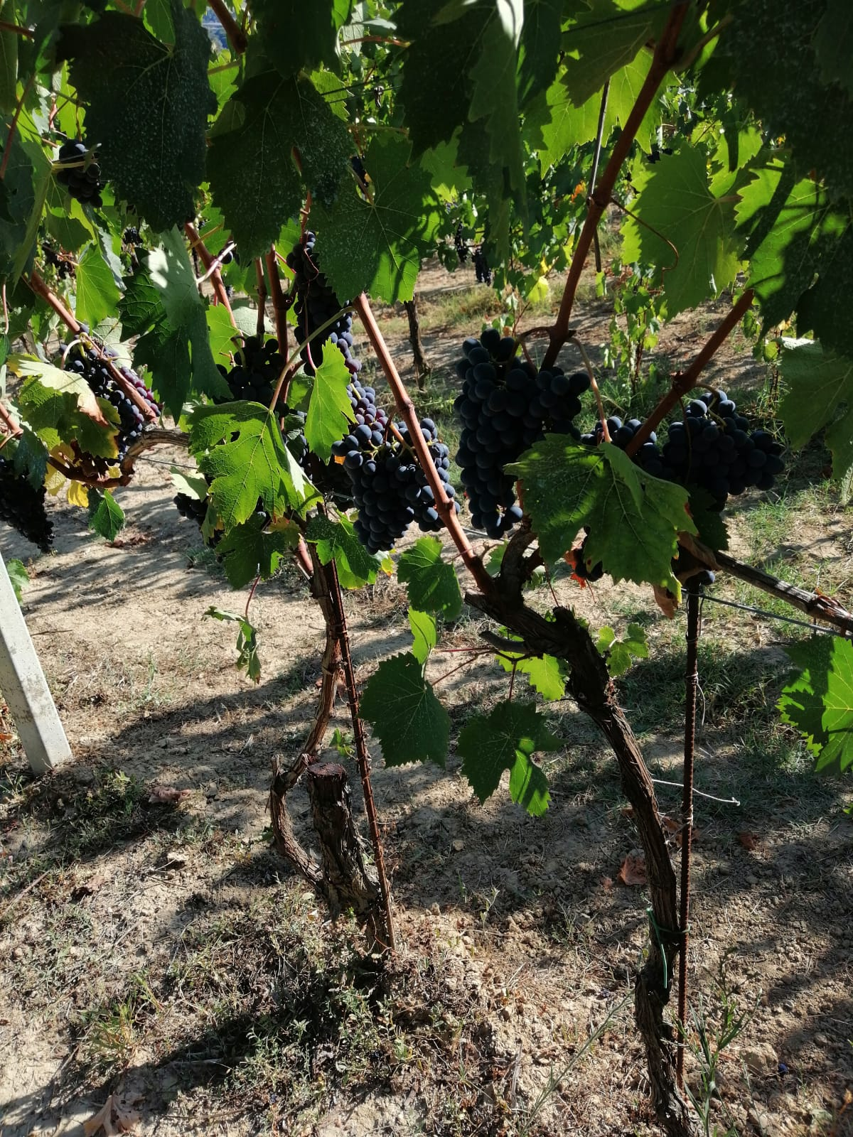 Le Crete Extra Dry Vinho Espumante Millesimato 7