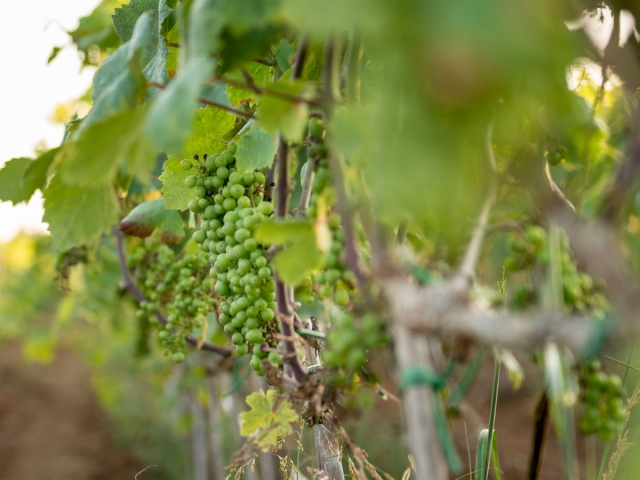 Chardonnay del Salento